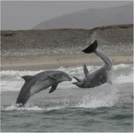 Peruvian dolphins, photo by Mundo Azul