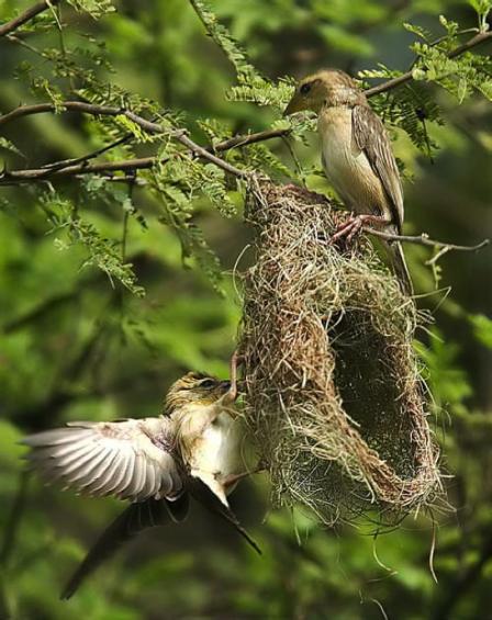 2 BIRDS WITH NEST