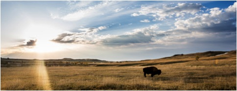 BISON ON PLAINS