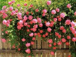 ROSES ON FENCE copy