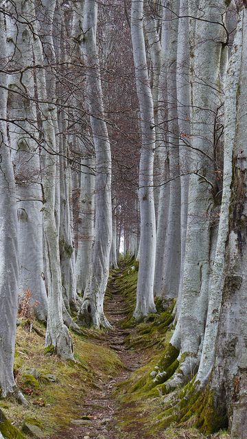path in the birch - photo #2