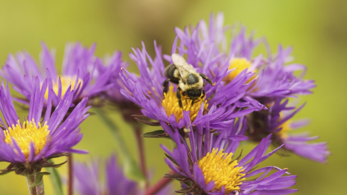 BEE ON ASTERS -Photo- © Chris Helzer:TNC