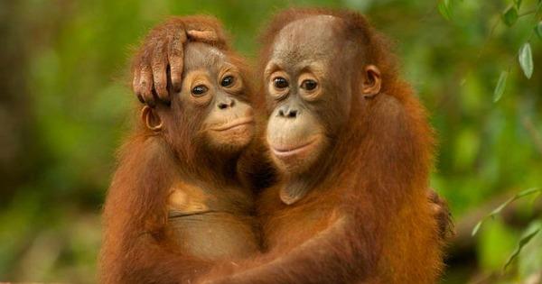 Orangutan babies, Indonesia