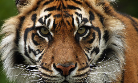 Sumatran-Tiger copy