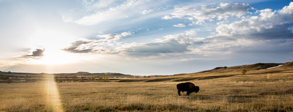 BUFFALO ON PLAINS
