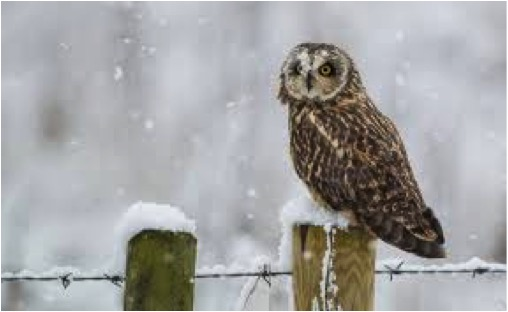 OWL IN SNOW LGE