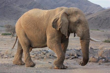 MALI DESERT ELEPHANT