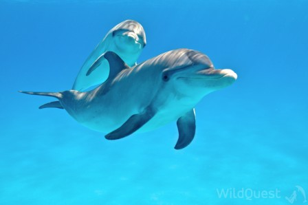 Dolphins in Bimini, photo by Atmo, www.Wildquest.com