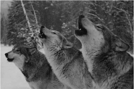 WOLVES HOWLING copy