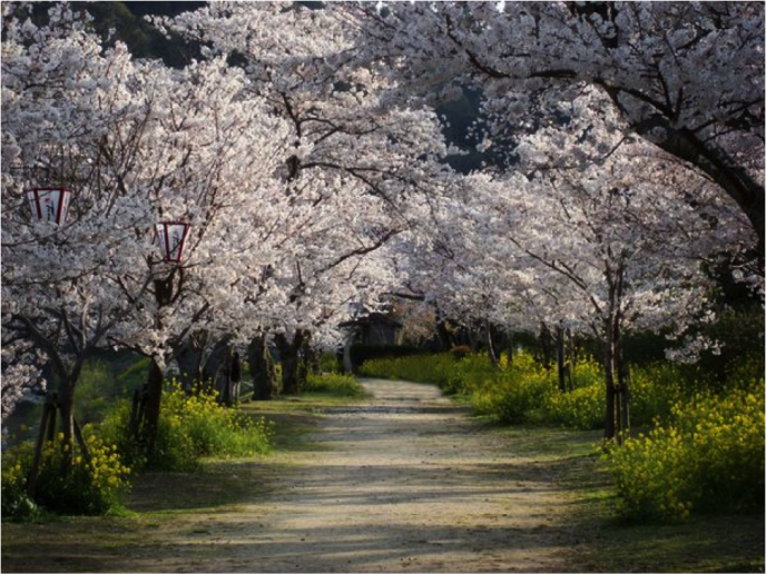 CHERRY TREES + PATH
