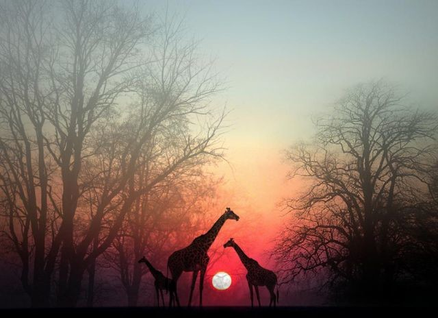 Giraffes at dusk