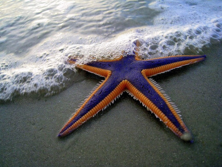 STARFISH-PURPLE
