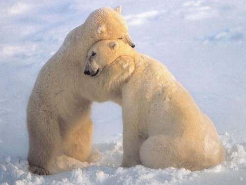 Polar Bears-Hugging