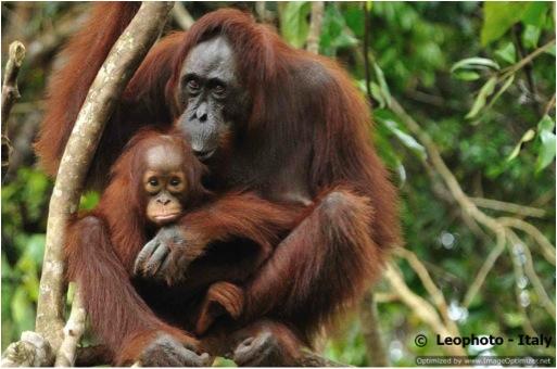 ORANG & BABY-BONEO