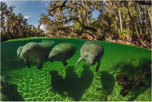 Because of its warm waters, Florida's Blue Spring State Park is a winter refuge for a growing number of manatees (pictured). Photo by Paul Nicklen, National Geographic