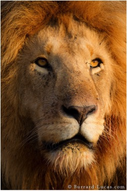 LION PORTRAIT BLOG SIZE