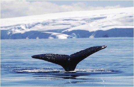 Antarctica & whale taile