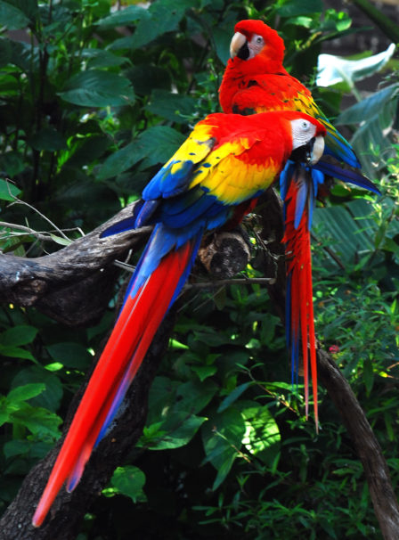 MACAWS IN RAINFOREST